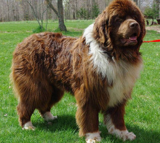Newfoundland Dog Made famous by Barrie in Peter Pan