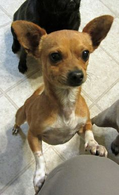 Adopt Rusty On Fox Terrier Toy Fox Terriers Terrier Mix Dogs