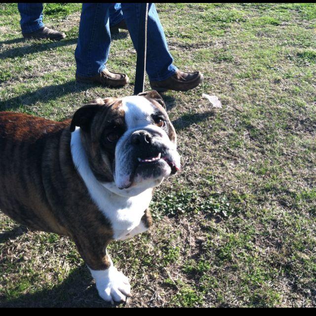 Brutis Canton Tx Trade Days Flea Market English Bulldog