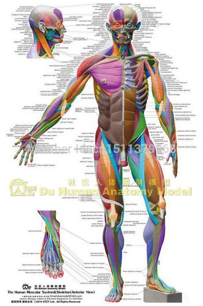 Human Anatomical Chart Muscular System,anatomy Ecorche Wall Poster ...