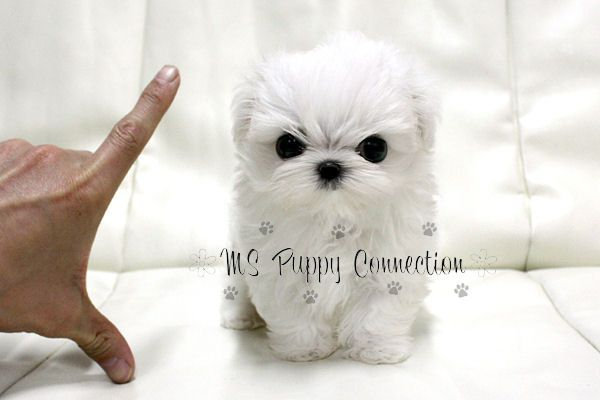 Teacup Maltese Puppies For Sale Maltese Puppies For Sale Ms
