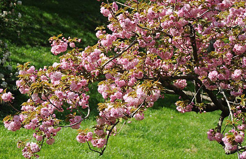 Flowering Trees Kwanzan Flowering Cherry Tree Wiki Wholesale Plants Flowering Trees Flowering Cherry Tree