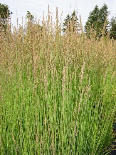 Molinia caerulea 39 moorflamme 39 moor flame grass for Short ornamental grasses full sun