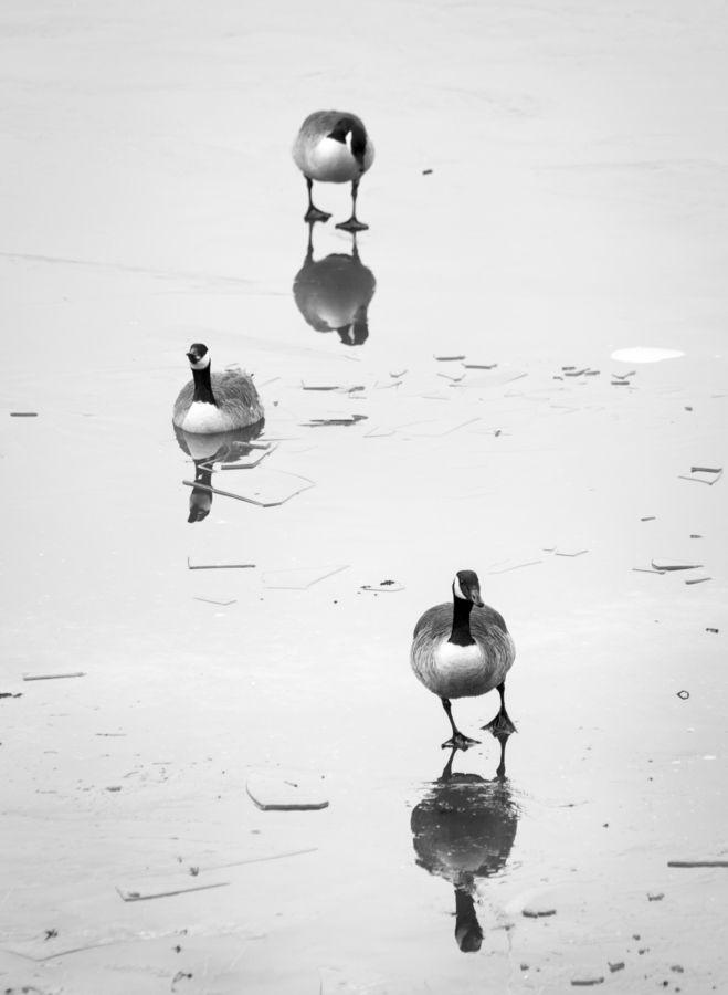 Geese at Huntley Meadows