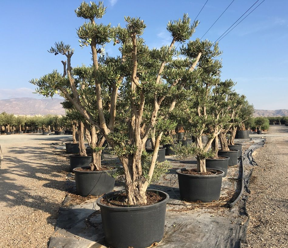 These stunning multi stem Spider Olive Trees variety Picual