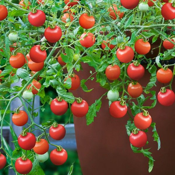 Hand Selected Varieties That Thrive In Containers No Need 400 x 300