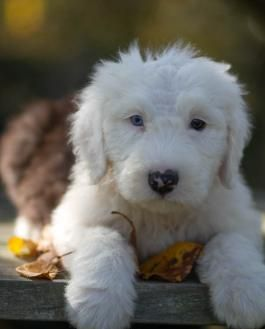 Jenny - Old English Sheepdog Puppy for Sale in Newport, PA