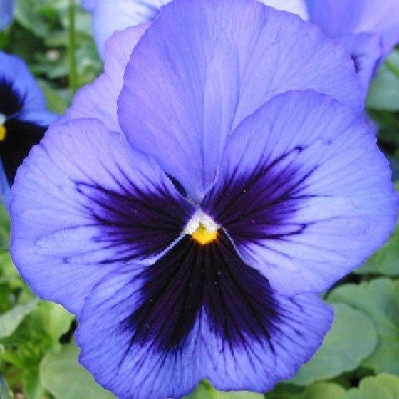 Snow Pansy Seeds Blue With Blotch 50 Flower Seeds Pansies Flowers Flower Seeds Pansies