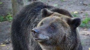 صدق او لا تصدق أنثى دب في بوزنان البولندية تنجح في انتشال قذيفة من مخلفات الحرب العالمية الثانية Brown Bear Bear Animals