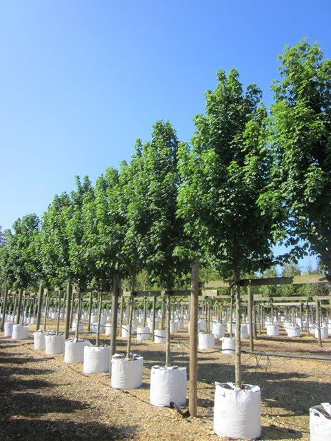 Acer Campestre Arends Field Maple Trees Green Field Maple