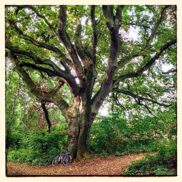 Fabulous Baumriese natur naturdenkmal baum eiche saarland biking mtb