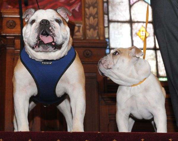 Puppy JJ joins Jack the Bulldog as Mascot-in-training