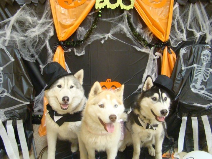 Happy Siberian Halloween!!! Love the pups!