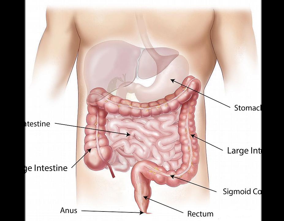 Anatomie & Physiologie: Die Leber (Hepar) - der Ort der Ketogenese ...