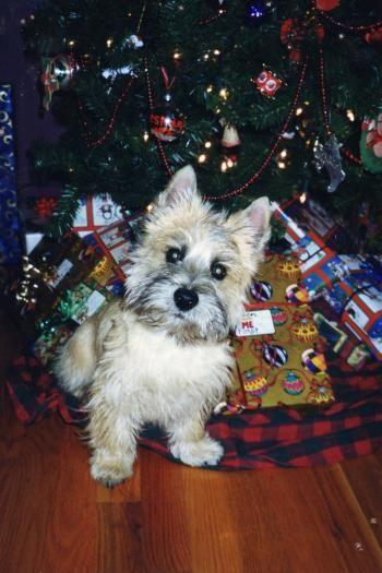 Soooo Cute Puppy From White Shadow Ranch Nc Cairn Terrier