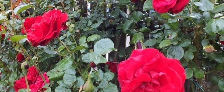 Rosa  by RosinaBloom .   Dublin Bay climbing rose