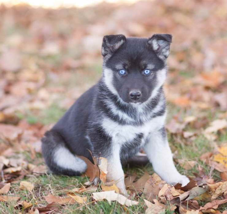 Husky German Shepherd Mix Puppies Craigslist Shepherd Mix