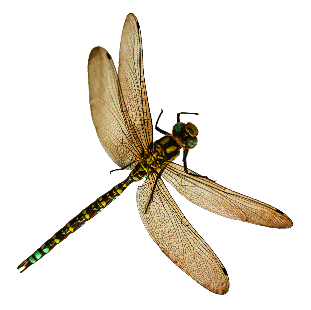 Dragonfly Png Image Purepng Free Transparent Cc0 Png Image Library Png Dragonfly Png Images