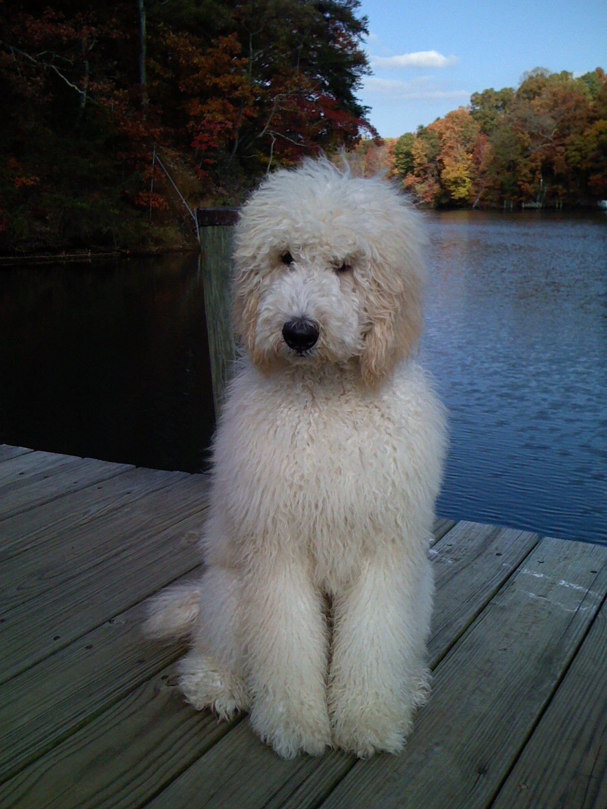 Steve The Poodle On Ginger Cove Pier Annapolis Md Dog Heaven