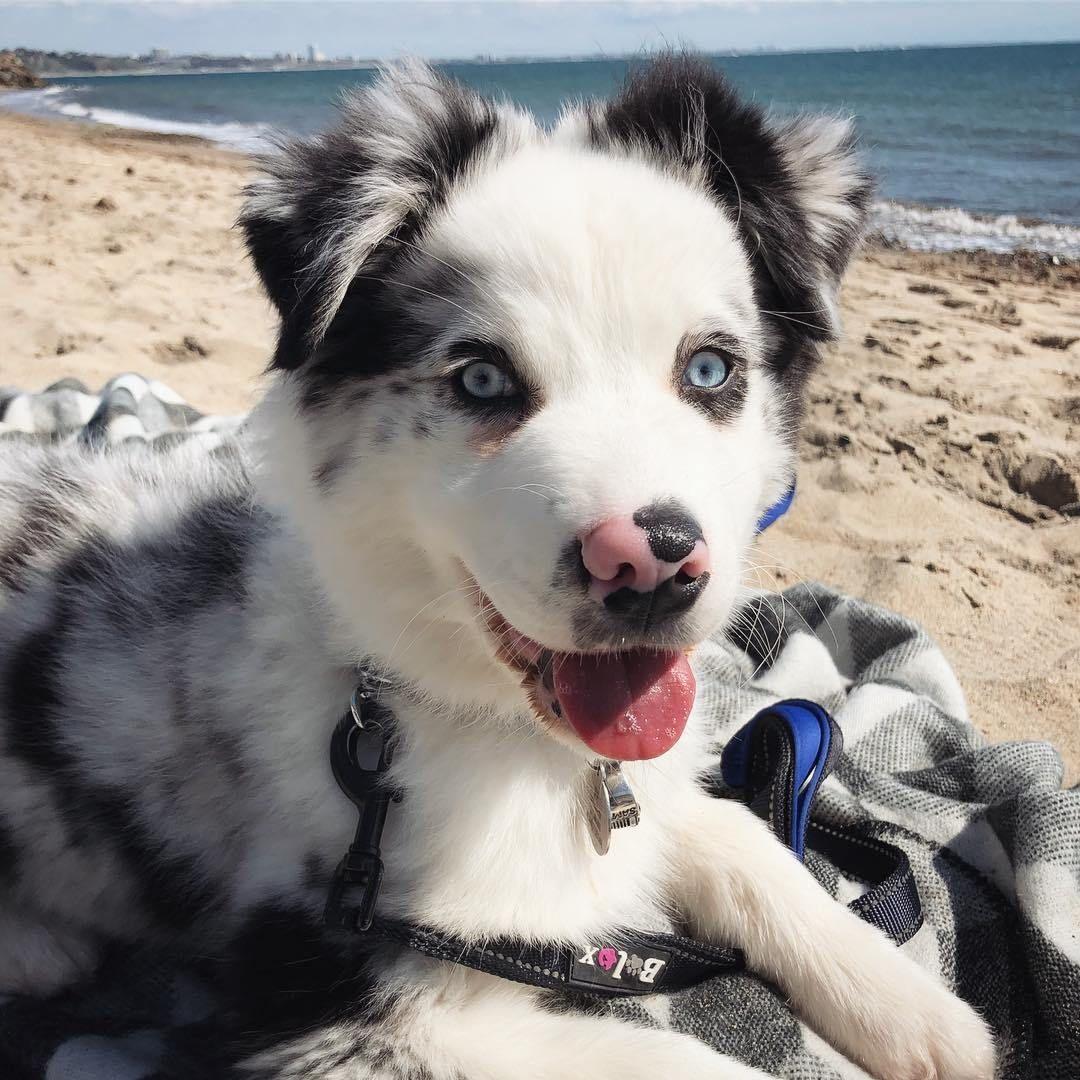 Jax the Australian Shepherd Puppy in Malibu Aussie dogs