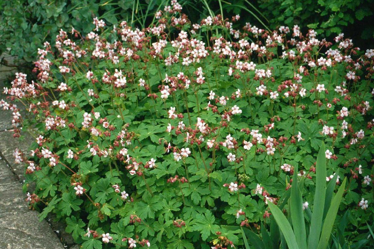 Geranium Macrorrhizum Ingwersen S Variety This Easy Care