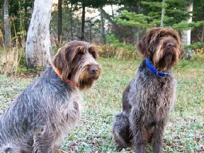 Dufor Kennels Reg'd | Wirehaired pointing griffon, Kennel ...