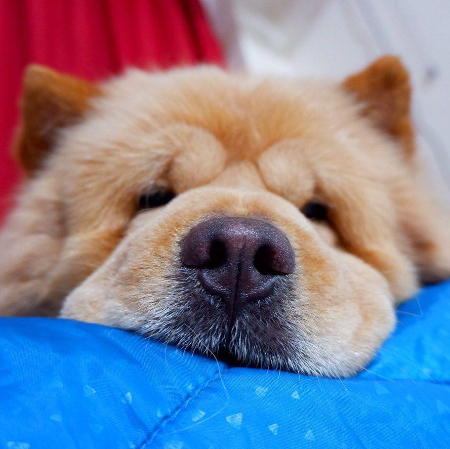 Parvo Symptoms Boop The Snoot Xandrethechowchow Dogsofinstagram Chowchow Chowchowlover Chowchowlife Chowchowdog Chowc Parvo Symptoms Parvo Dogs