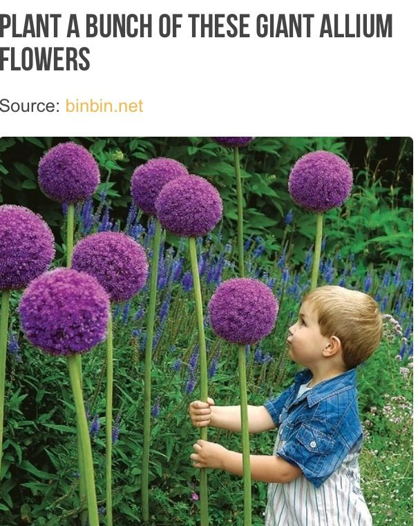 Must Do But Plant The Bulbs In Pots For Deck Allium Bulbs Pinball Wizard Allium Flowers Garden Inspiration Backyard Garden