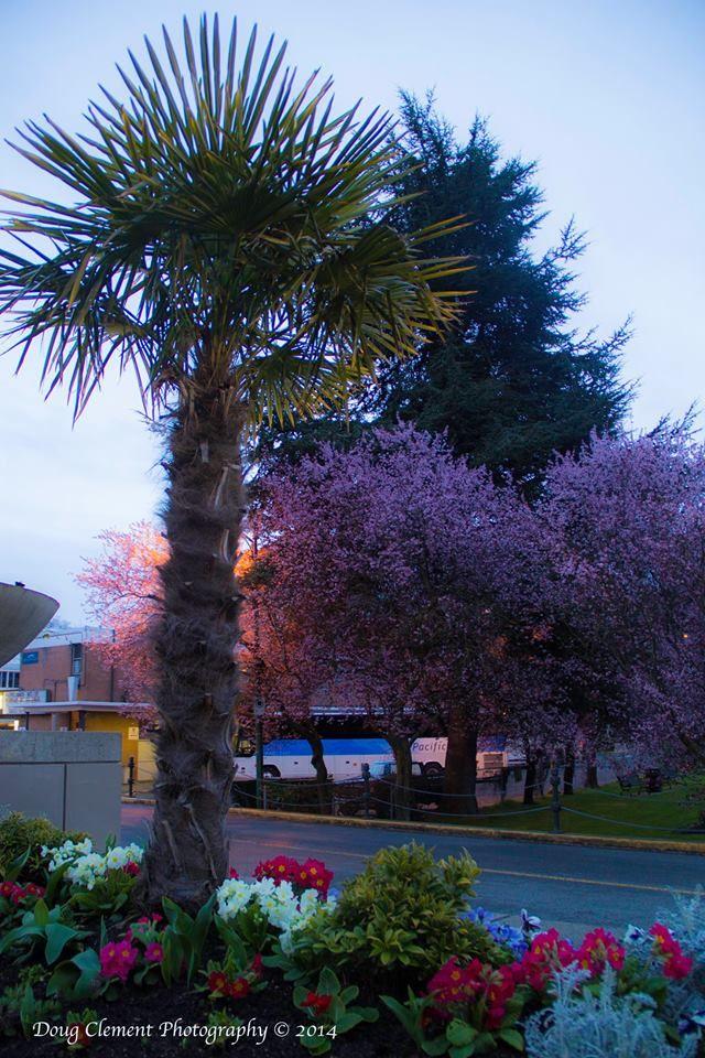 Palm Trees And Cherry Blossoms Springtime In Victoria March 20 2014 Victoria Vancouver Island Victoria Bc Canada Wasaga Beach