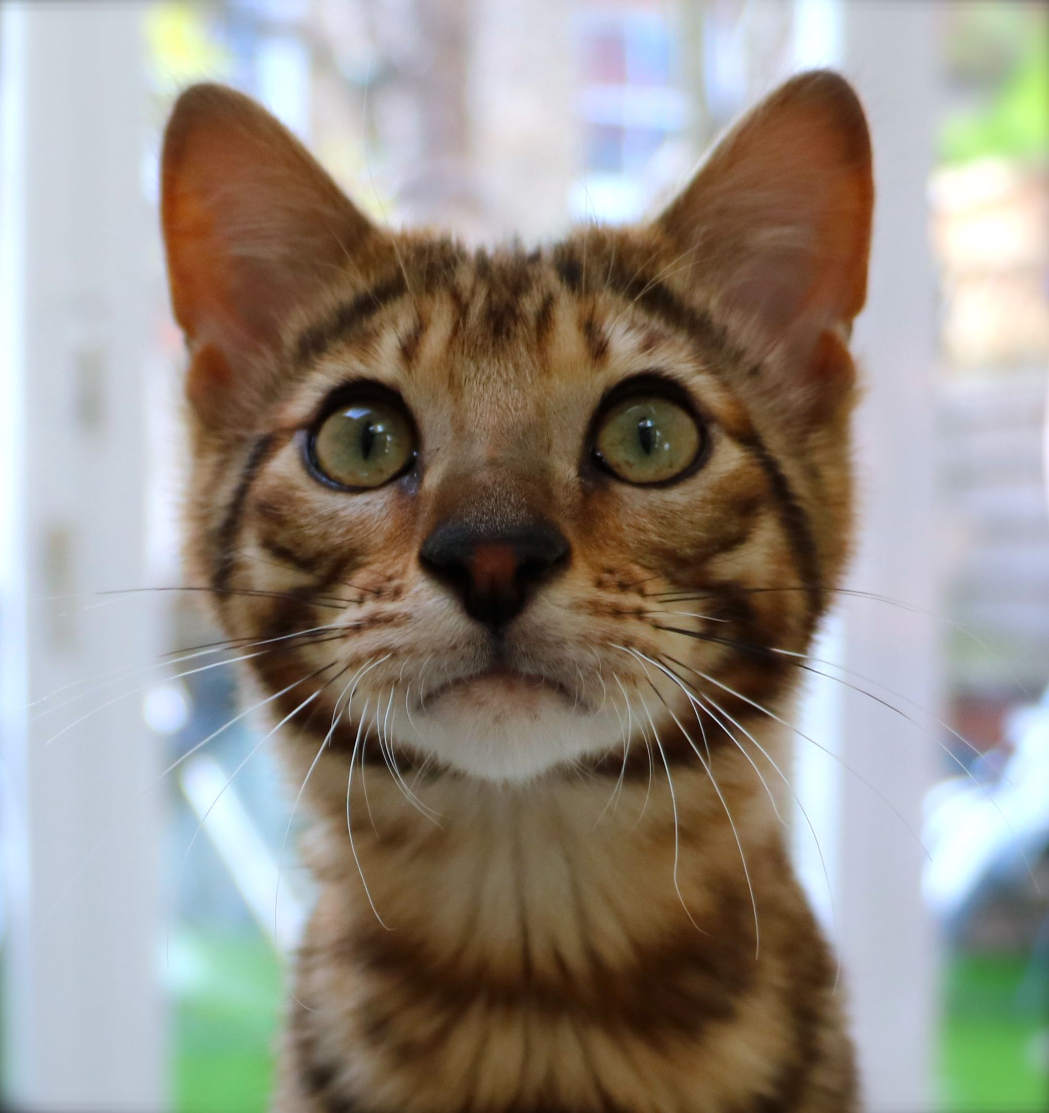 Toyger cat Toy Tiger A relatively new breed of cat in the UK