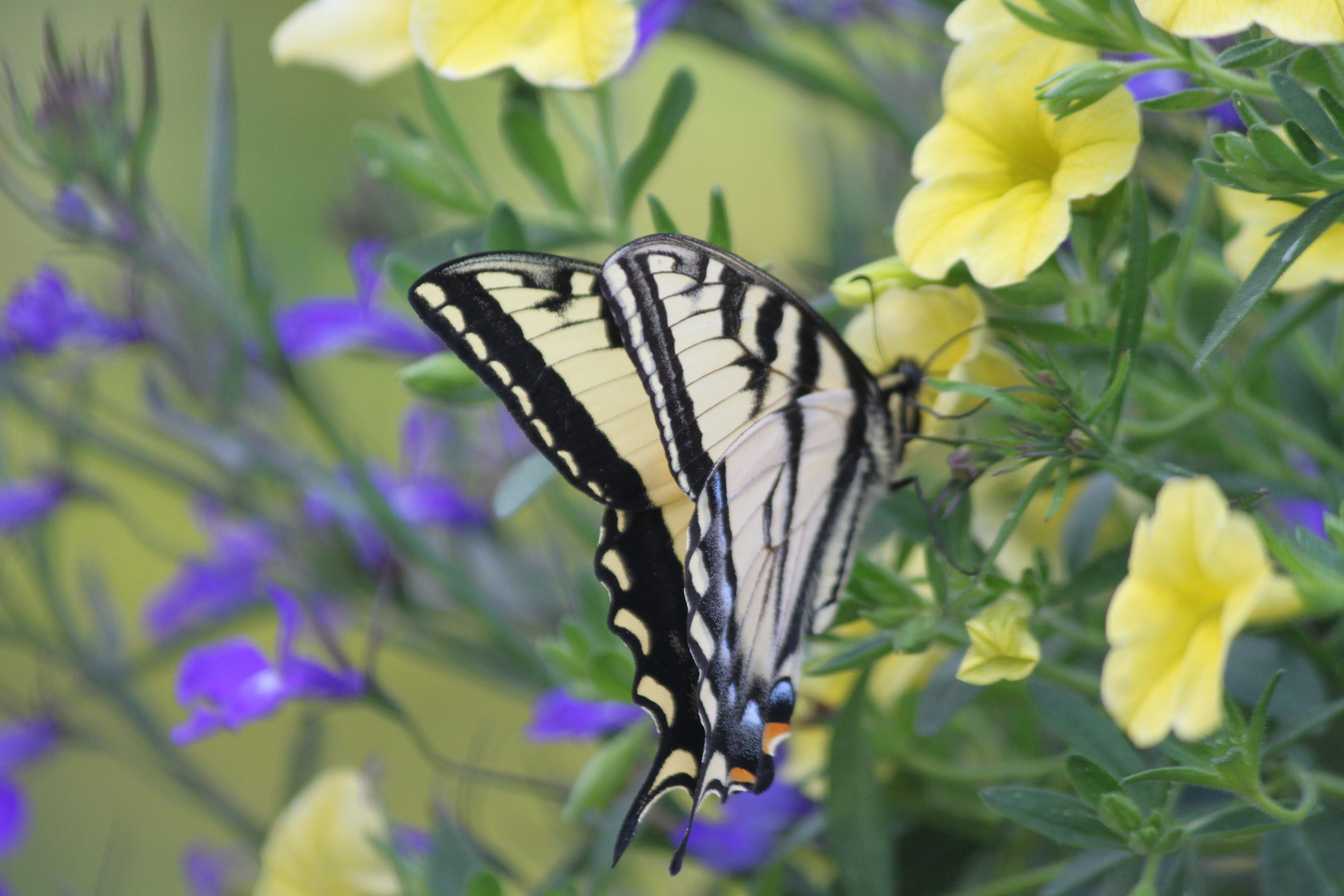 Butterfly Diaries by Suzanne Gaff   Butterfly photos