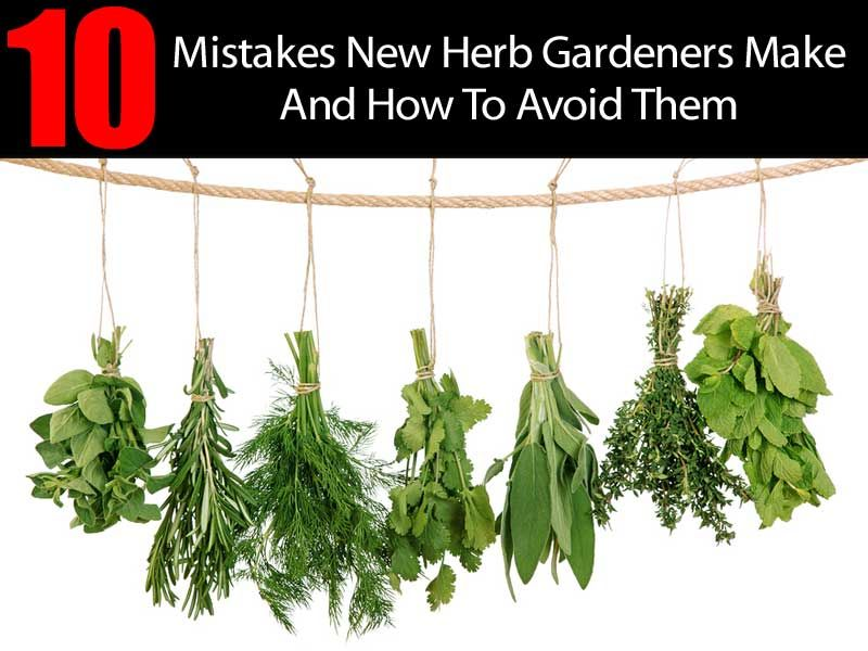 10 Herb Gardening Mistakes And How To Avoid Them Dried Basil