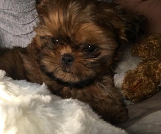 Fergus Shih Tzu Puppy Shih Tzu Dog Shih Tzu