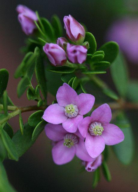Boronia Crenulata Shark Bay 3 With Images Beautiful Flowers Purple Flowers Pretty Flowers