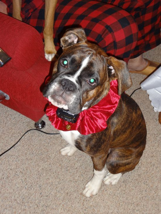 For Sale Pure Breed Boxer Puppy 8 months old Boxer puppy