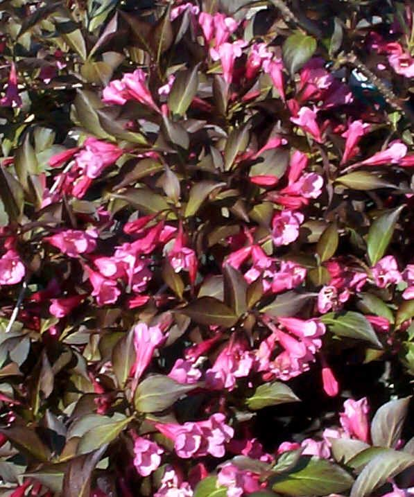 Wine And Roses Weigela Pink Flowers On Deep Purple Leaves This