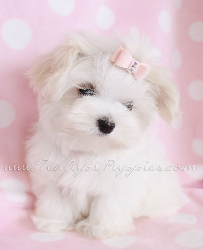 Maltese Puppies For Sale In South Florida Maltese Puppy