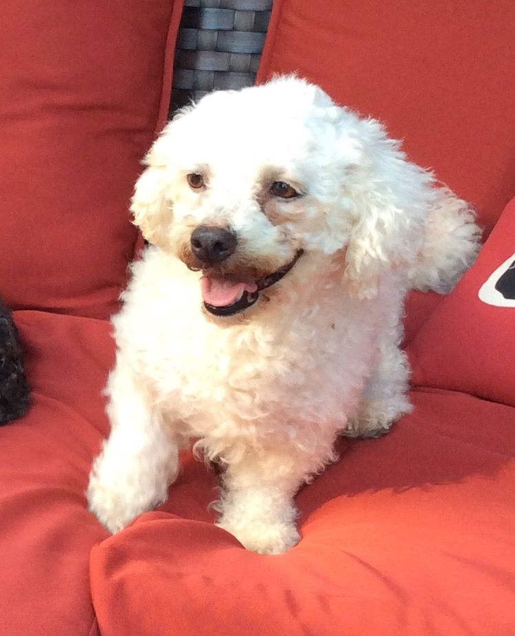 Bichon Frise dog for Adoption in Tenafly, NJ, USA. ADN