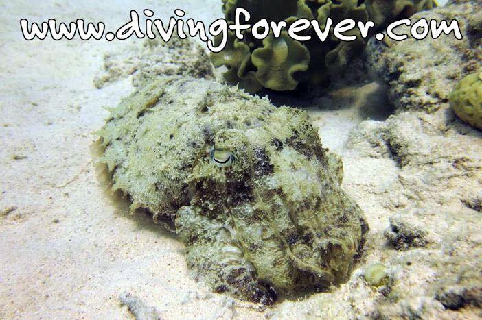 Pharaoh Cuttlefish http://www.divingforever.com Unsere deutsche Tauchschule / Tauchbasis bietet Tauchen in Hurghada zu besten Preise,Wählen Sie von dem was Sie wollen:Tauchausflüge, Schnuppertauchen, Spezialkurs, Tauchkurse von PADI oder CMAS.