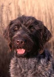 pointing griffon - (With images) | Unique dog breeds, Dog ...