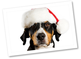 The Greater Swiss Mountain Dog is an ancient breed once ...