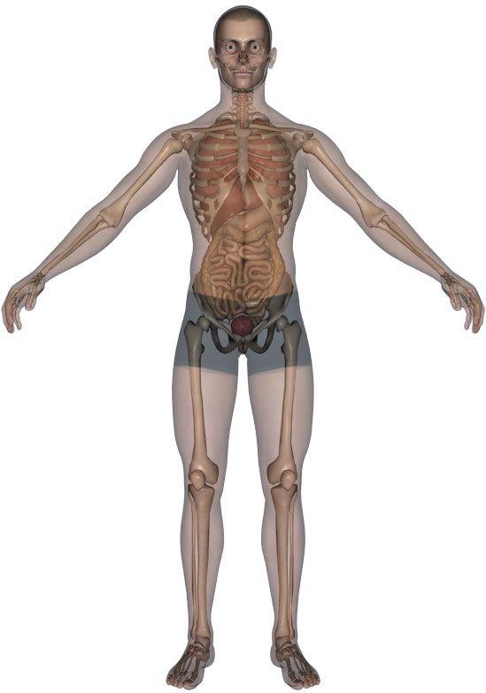 De site waar het menselijk lichaam en zijn functies in tekst en 3D ...