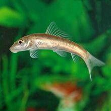 Chinese Algae Eaters These Guys Can Clean A Tank Overnight Aquarium Catfish Live Freshwater Fish Aquarium Fish