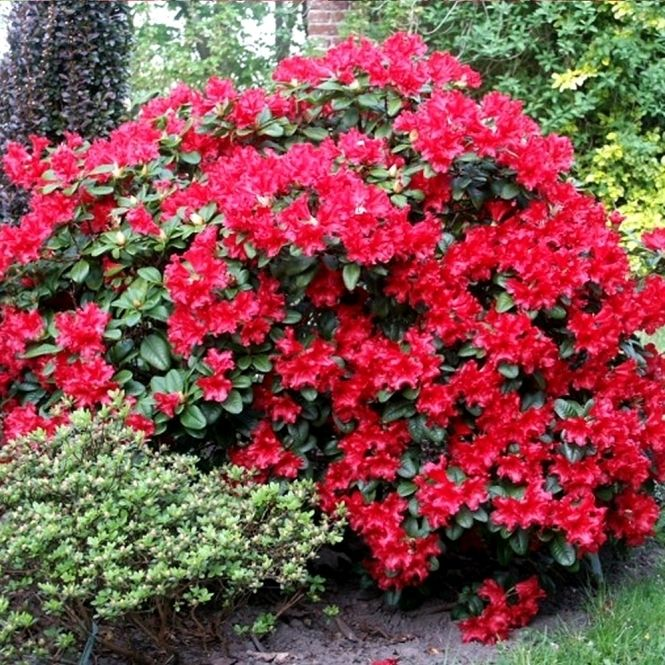 Rhododendron 'Scarlet Wonder' Evergreen Shrub