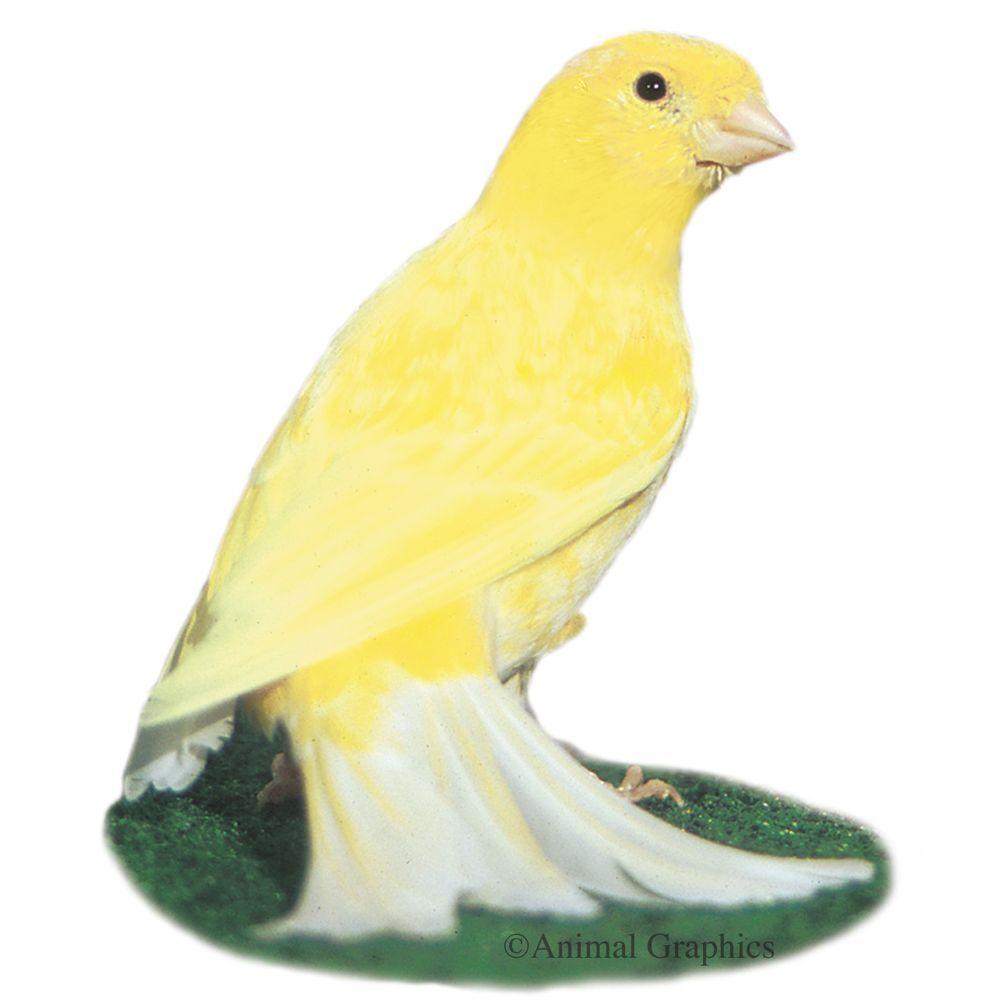Canary In 2020 Pet Birds Birds For Sale Canary Birds