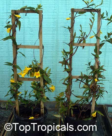 Carolina Jasmine Vine... just planted some.. :)