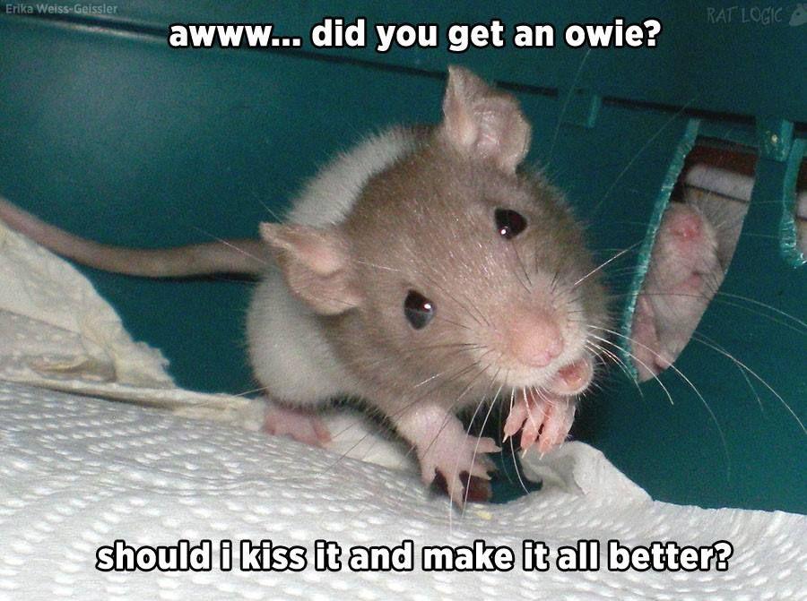 Rat Logic Timeline Photos Facebook Hausratten Susse Ratten Haustiere