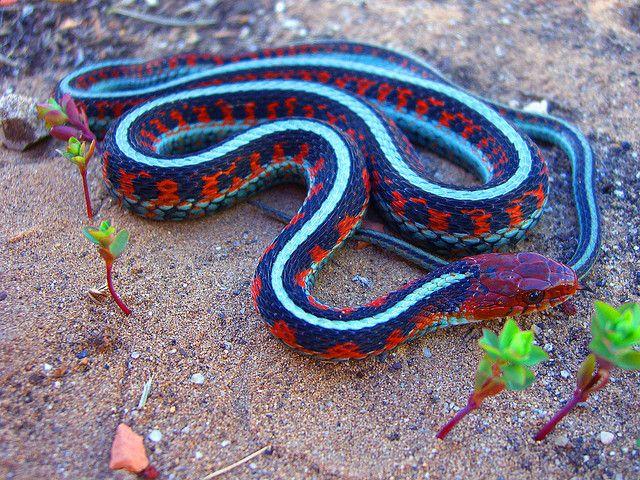 California Red Side Garter Snake Snake Snake Lovers Snake