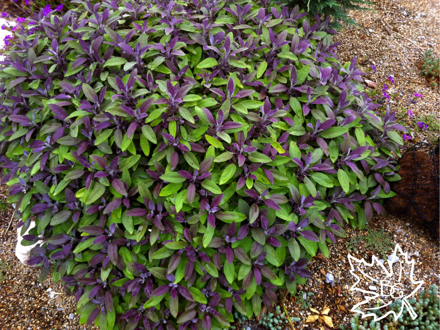 Purple Leaf Sage Is An Incredible Looking Shrub But Hardy Only To Zone 7 G