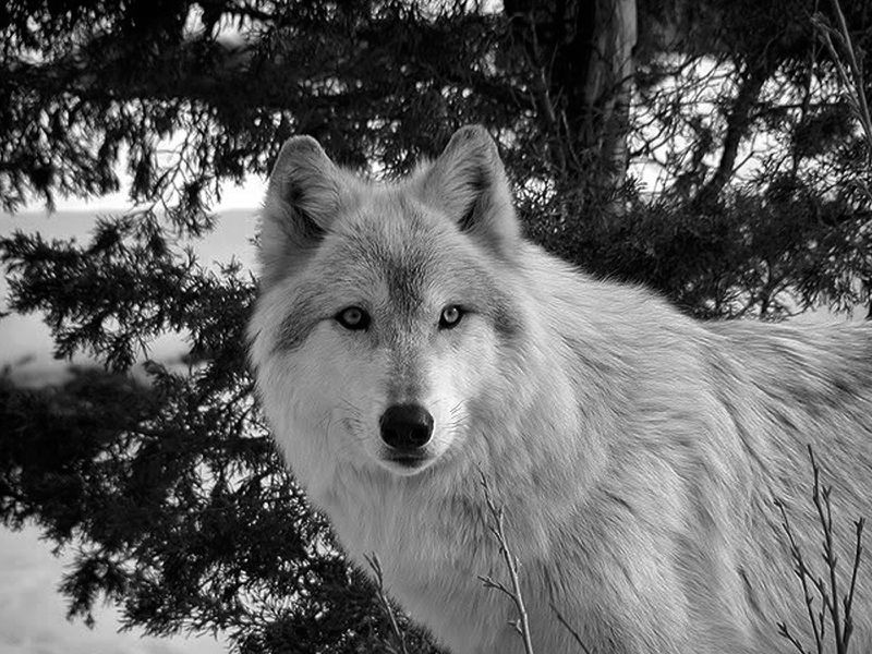 Black And White Wolf Beautiful Beauty Winter Wolf